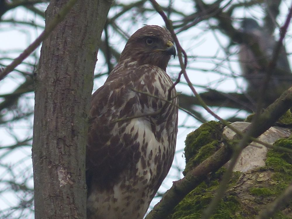 Holiday Crail buzzard Denburn Wood