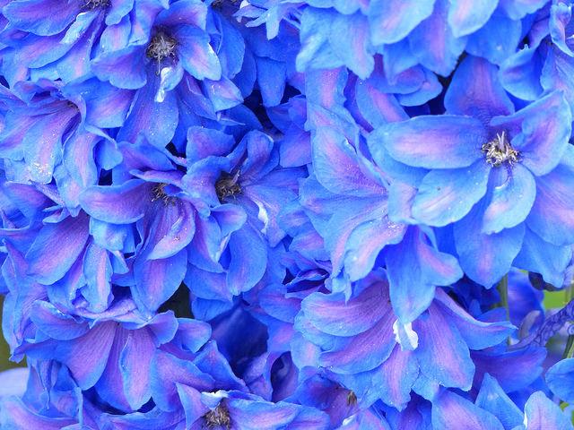 Delphiniums blue in Kingsbarns