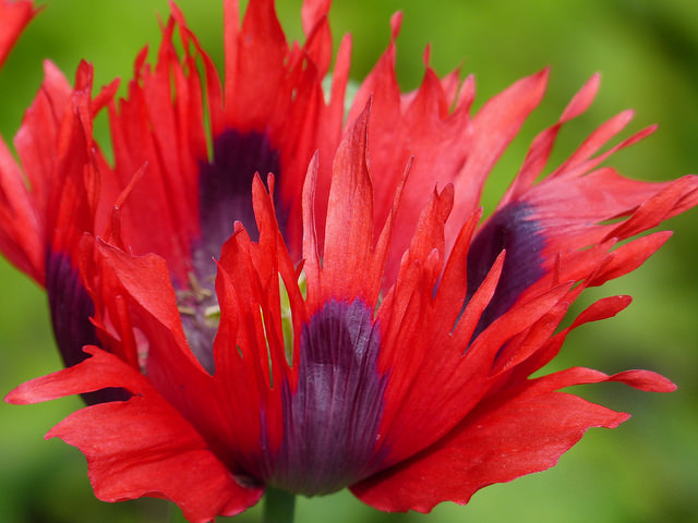 poppy in gardens at Kingsbarns