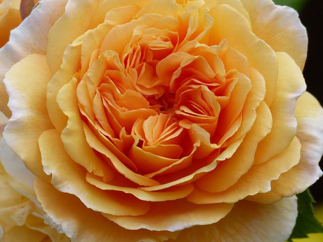 Roses in Kingsbarns