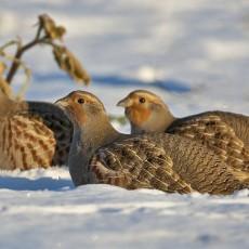 Wild Crail's Twelve Birds of Christmas