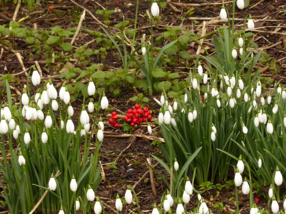 spring breaks snowdrops