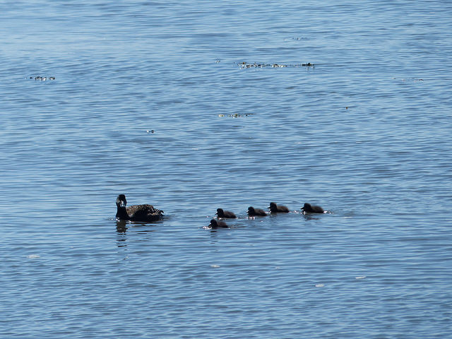 Eider duck ducklings
