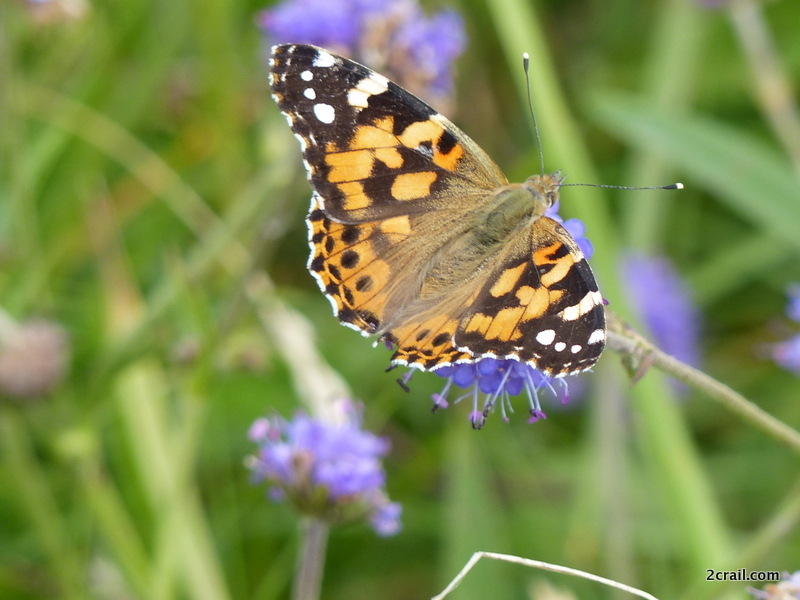 painted lady crail fife