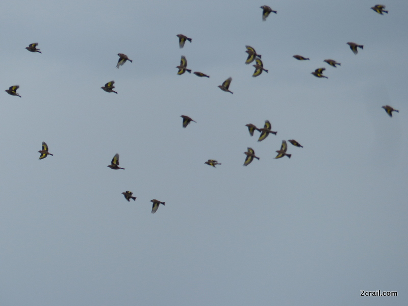 flock of goldfinches
