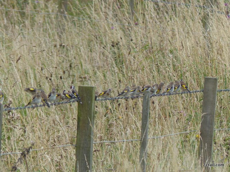 autumn goldfinches