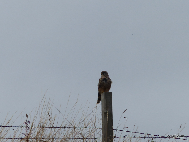 kestrel on post