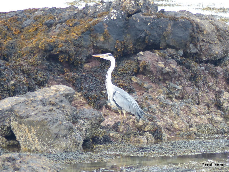 grey heron fife coastal path