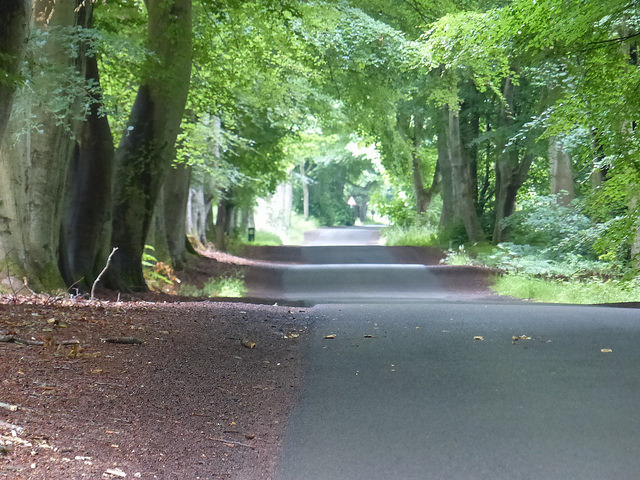 The road towards Tentsmuir flanked by beech trees