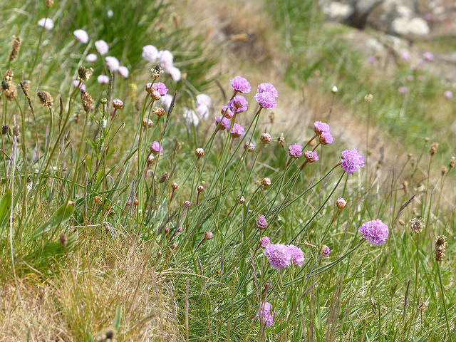 thrift on Fife coastal path