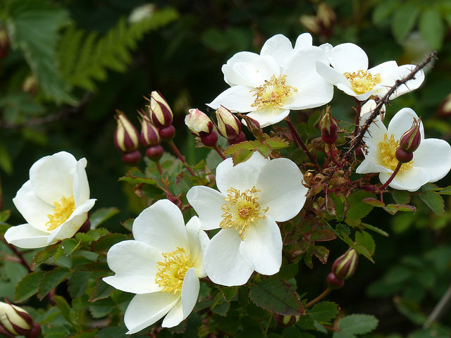 white roses wild