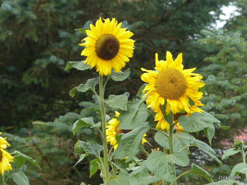 welcome 2crail sunflowers