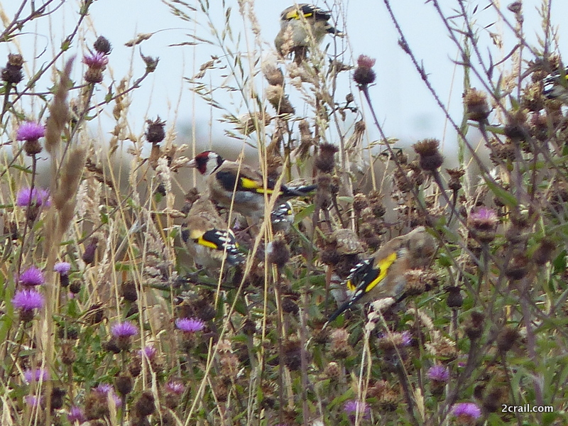 goldfinches feeding on thistles
