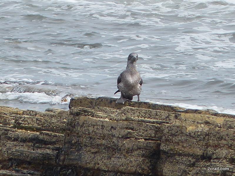 young gannet webbed feet
