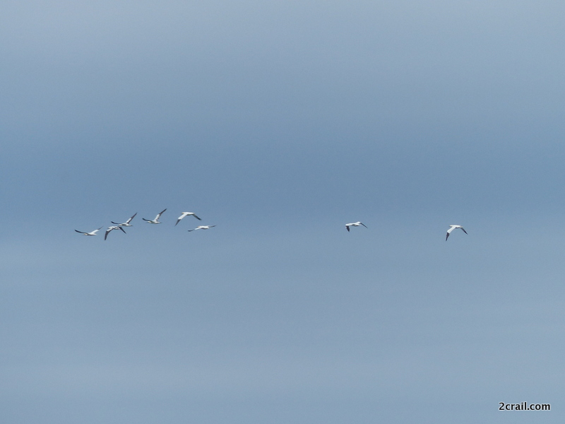 gannets in flight fife