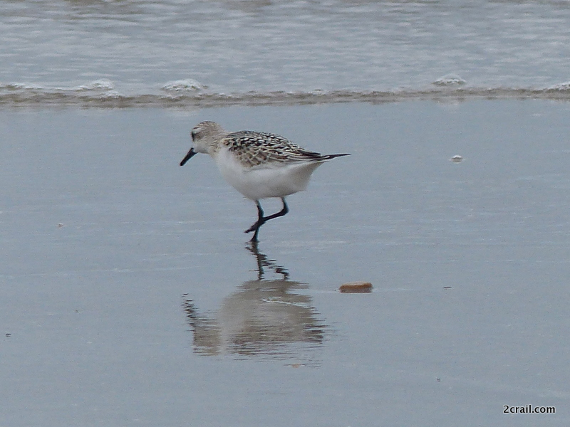 Sanderling at Balcomie Bay
