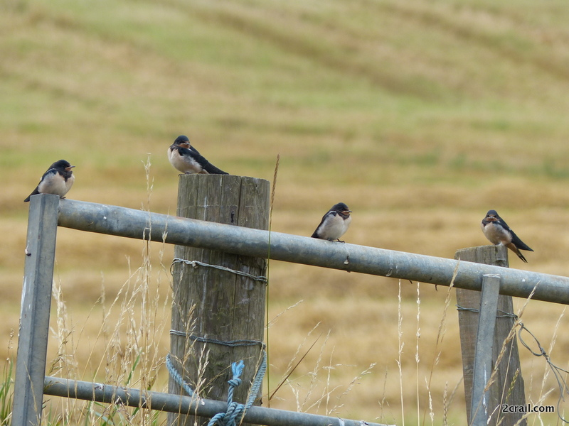 juvenile swallows
