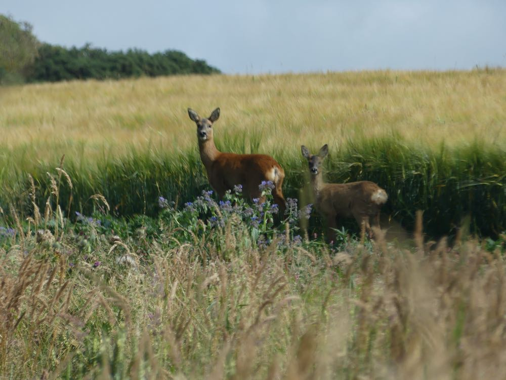Roe Deer at Cameron