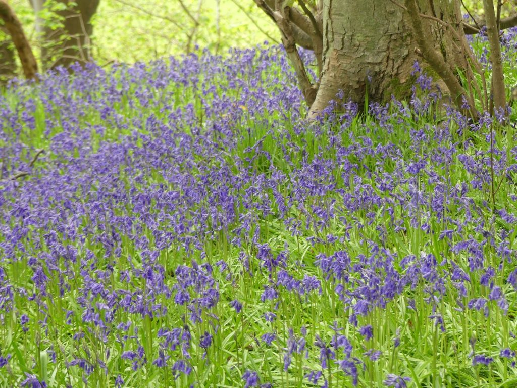 Blue Bells in the Woods